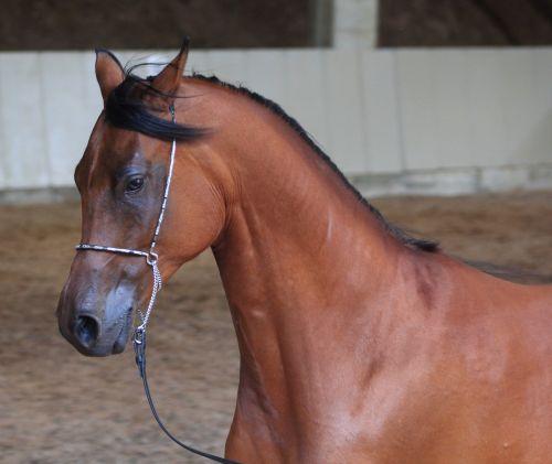 arabs horse thoroughbred arabian