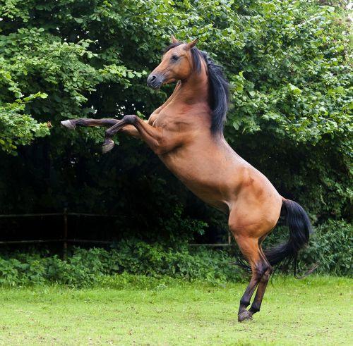 arabs stallion thoroughbred arabian