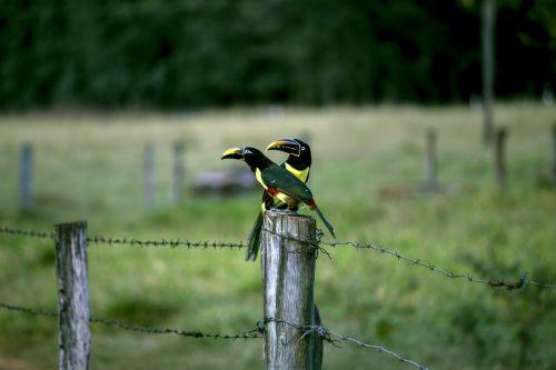 araçari tucano birds
