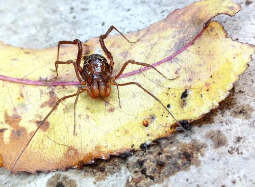 arachnid type opilión