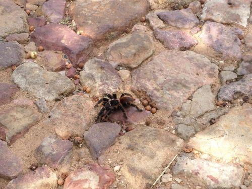 arachnids spider tarantula