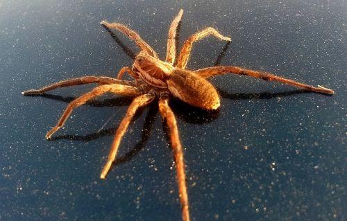 arachnids araneae arthropoda