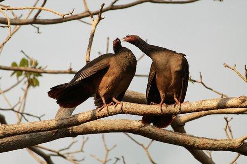 aracuã-of-the pantanal  aracuã  bird