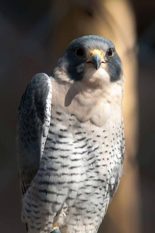 Aragorn Falcon