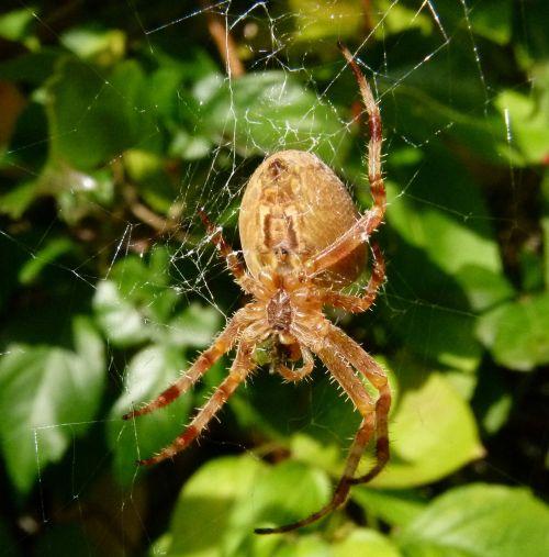 araneus diadematus european garden spider diadem spider