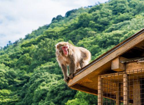 arashiyama japan monkey park