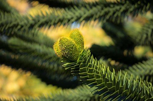 araucana  chile pine  chile fir