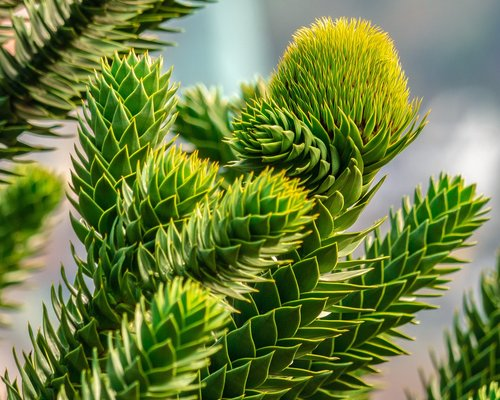 araucana  chile pine  fir tree