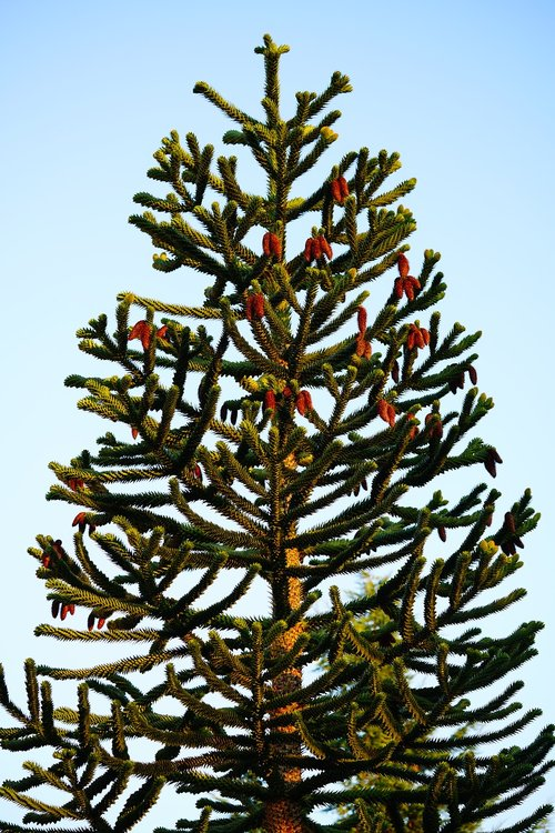 araucana  tree  araucaria