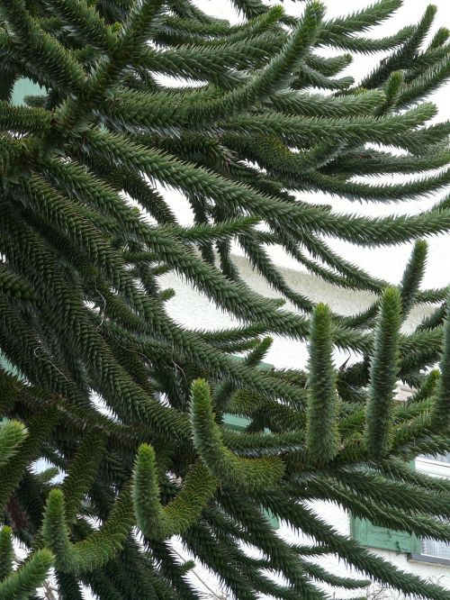 araucana fir tree