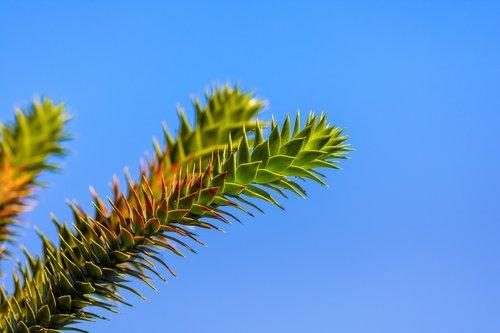 araucaria  chilean schmucktanne  snake tree