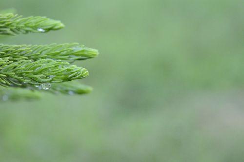 araucaria columnarispine branches prickly branches pine