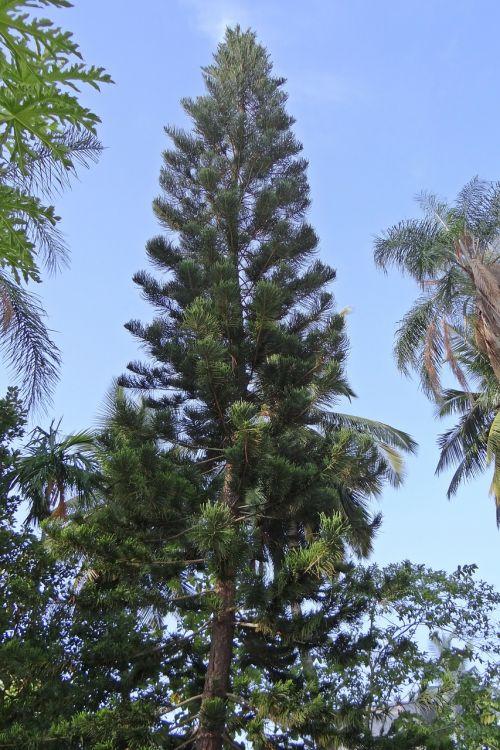araucaria heterophylla tree conifer