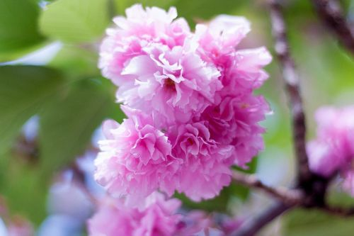 arboretum,gėlės,augalas,natūralus,Japonijos gėlė,Japonija,mediena,kalnas,šviesa,pilnai žydėti,pavasaris,vyšnia,dvigubos vyšnios žiedai,vyšnių žiedų peržiūra,pavasario gėlės,vyšnių žiedų,pavasaris Japonijoje,rožinis,mielas,Sakura