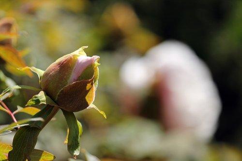 arboretum  peony  shrubby peony