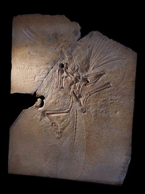 archeopteryx skeleton fossil