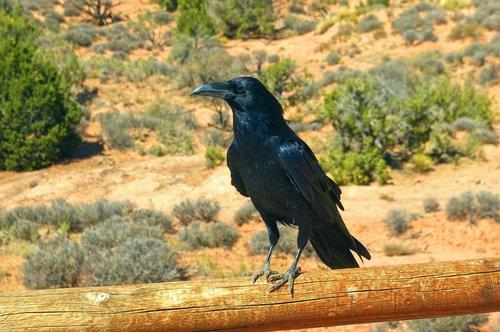 arches raven  bird  animal