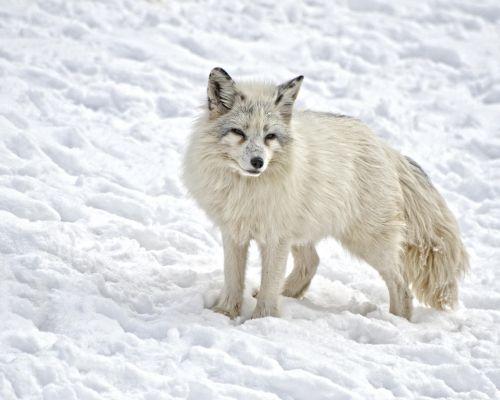 arctic fox mammal fox
