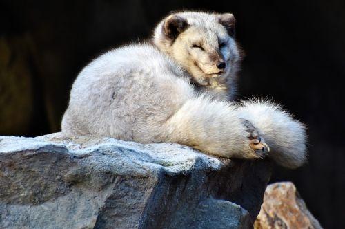 arctic fox fuchs wild animal