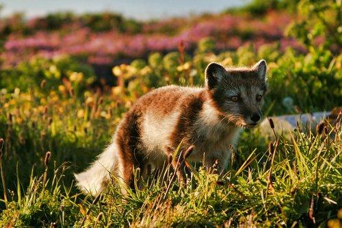 arctic fox  animal  fox