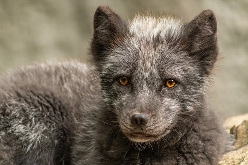 arctic fox  wild animal  wildlife park