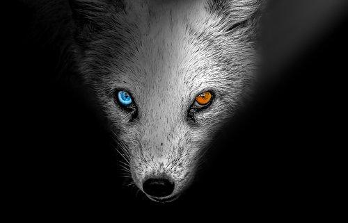 arctic fox  animal  arctic