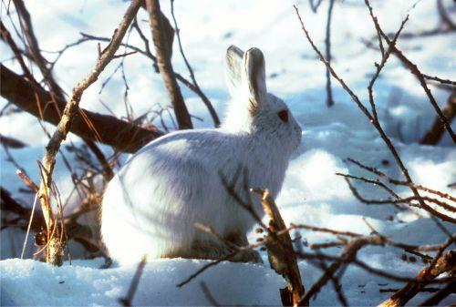 arctic hare polar rabbit bunny