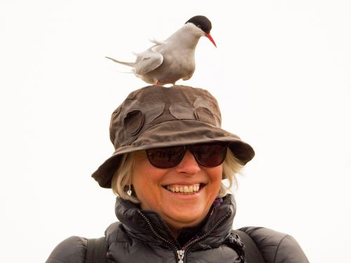 arctic tern wildlife bird
