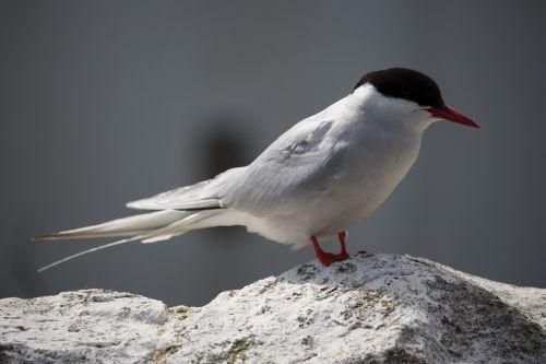 arctic tern farne seabird