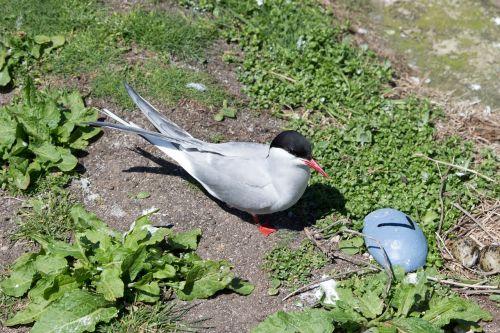 arctic tern nest farne