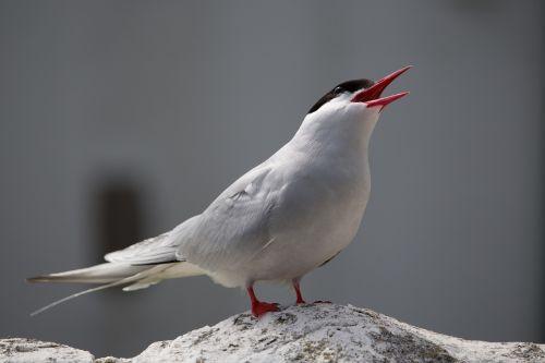 arctic tern bird tern