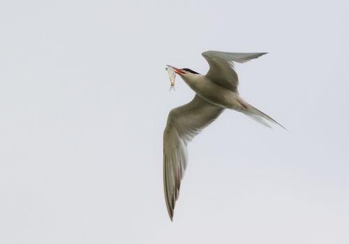 arctic tern seevogel bird