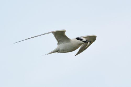 arctic tern hunting prey