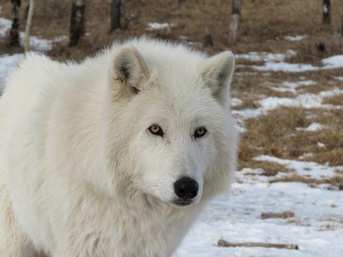 arctic wolfdog wolfdog wolf