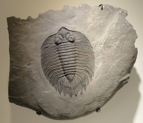 arctinurus boltoni trilobite fossil