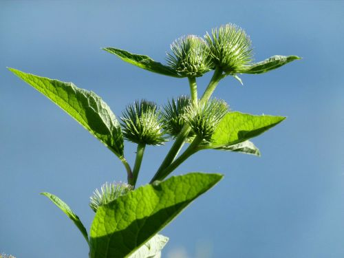 arctium burdock wildflower