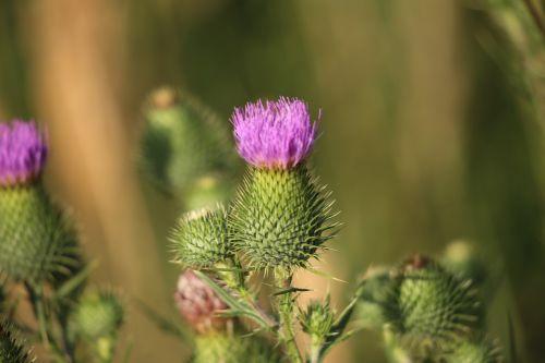 arctium lappa burdock plant