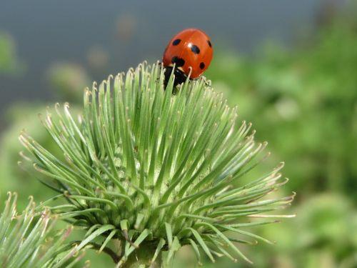 arctium lappa ladybug greater burdock