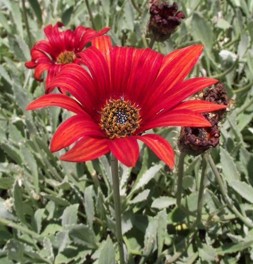 arctotis, asteraceae, saulės spindulys, oranžinė, Afrikos, Daisy, raudona, gėlė