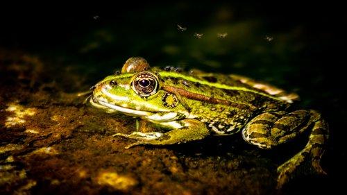 ardeche  frog  animal