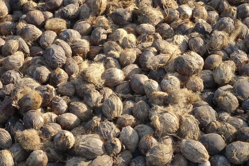 areca nut  betel nut  fruit