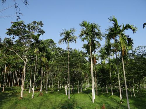 areca palm plantation kodagu