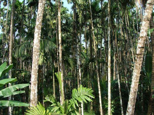arecanut orchard plantation