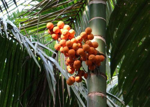 arecanut betelnut nut