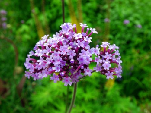 argentine vervain blossom bloom