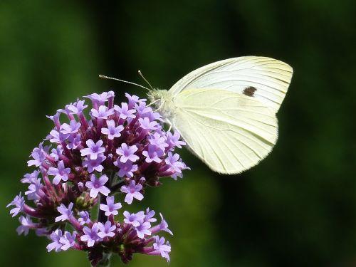 argentine vervain white verbenia extinct