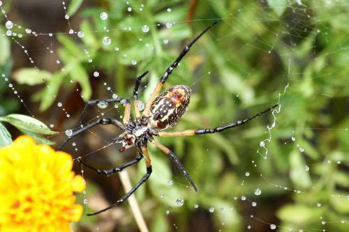 Argiope Spider Spinning Web
