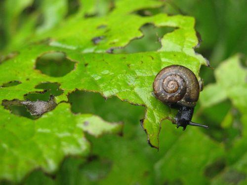 arianta arbustorum snail eating plant garden pest