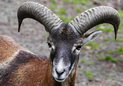 aries mouflon horns
