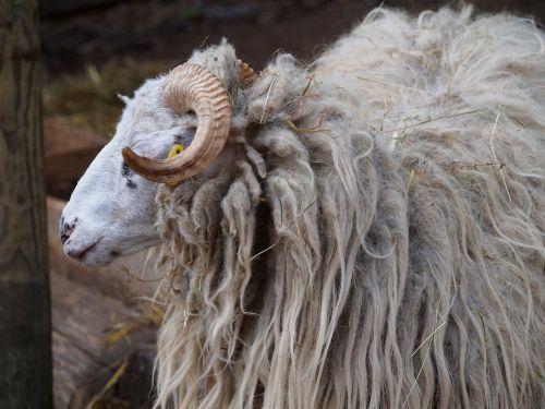 aries sheep wave